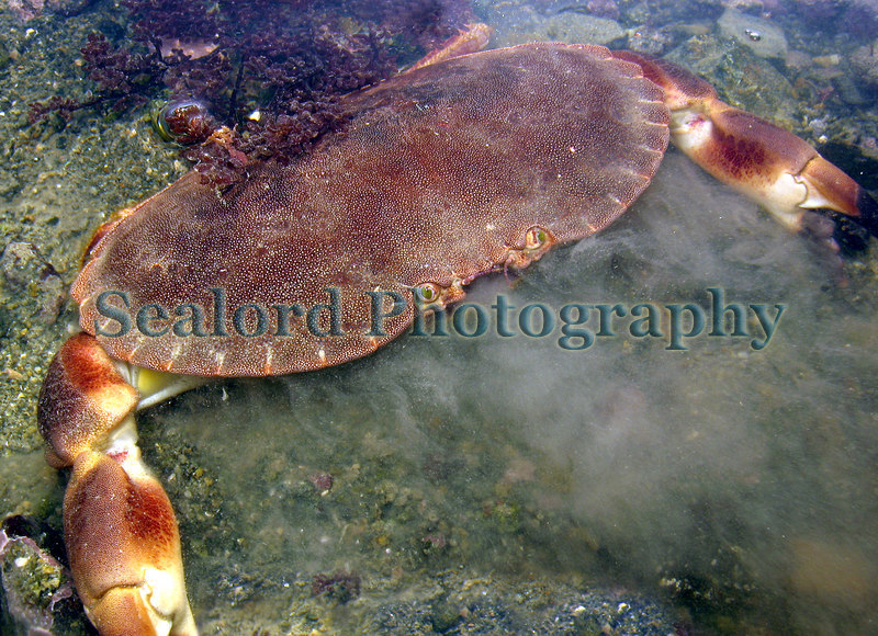A soft-shell edible crab, Cancer pagurus, beginning to bury itself in the sediment of Belle Greve Bay
