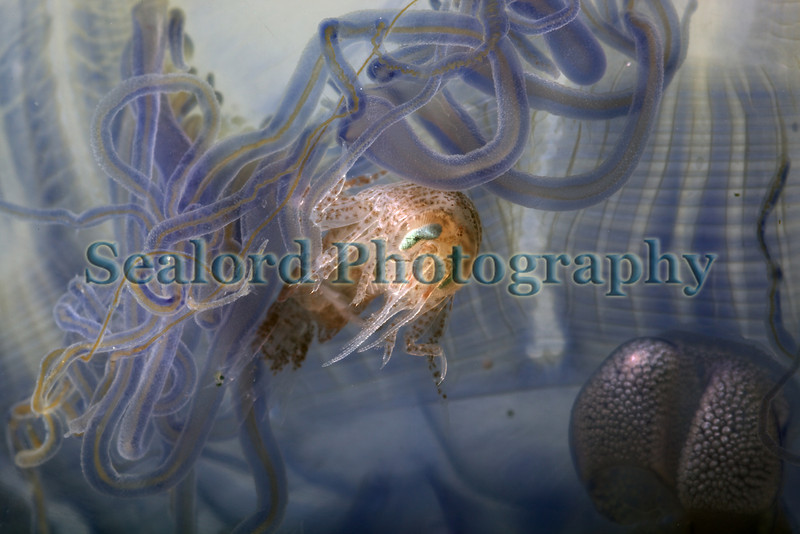The blue jellyfish with a commensal isopod inside the bell