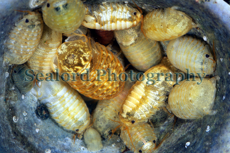 The isopod Sphaeroma serratrum seeking cover in an empty limpet shell during low tide in Belle Greve Bay