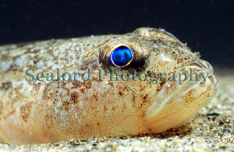 A male sand goby, Pomatoschistus minutus, with its brilliant blue eyes rests on the sand in Belle Greve Bay on Guernsey's east coast.  Photographed on the 20 February 2007.<br /> File No. BG 200207 8-881<br /> ©RLLord<br /> fishinfo@guernsey.net
