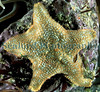 A cushion starfish, Asterina gibbosa, moving over a rock in a pool at La Valette on Guernsey's east coast.<br /> File No. 26-650<br /> ©RLLord<br /> fishinfo@guernsey.net
