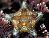 The tiny starfish, Asterina phylactica, found at La Valette on Guernsey's east coast in an upper-shore rock pool filled with coralline algae.  This species was first described in 1979.<br /> Photographed on 8 February 2005<br /> File No. 23-766<br /> ©RLLord<br /> fishinfo@guernsey.net