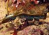 Himanthalia elongata understory BG 170407 7954 smg