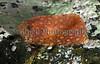 snail fish Liparis montagui Clive Brown 250210 9922 smg