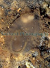 Ascidia conchilega below horseshoe pool east coast 071006 31-863 smg