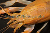 Axius stirhynchus 060511 ©RLLord 6725 smg