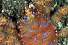 Galathea strigosa dors BG 180407 28-903 smg