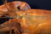 Axius stirhynchus 060511 ©RLLord 6744 smg