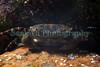 Asian shore crab Hemigrapsus sanguineus Guernsey 190410 ©RLLord 9253 smg