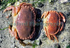 European edible or brown crab, Cancer pagurus, are resident under boulders and cobbles on the Guernsey seashore until they reach a carapace width of between about 9 and 12 cm before they move out into deeper water.  The minimum landing size for the edible crab in Bailiwick of Guernsey waters is 14 cm.  <br /> <br /> This image shows a crab that has recently undergone ecdysis or moulting on the shore in Belle Greve Bay on Guernsey's east coast.  The crab on the left is alive and has a soft-shell.  The empty crab body on the right shows the crab's size before it moulted its old shell and expanded the new one which was formed underneath the old shell.  This crab was photographed on the 17 May 2007.<br /> File No. BG 170507 2-903 <br /> ©RLLord
