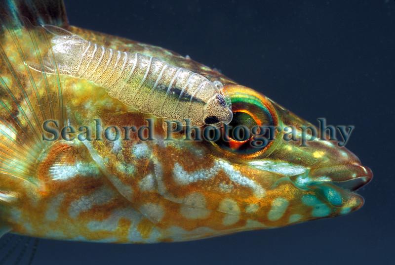 Crenilabrus melops Anilocra QEII channel 290907 23-930 smg