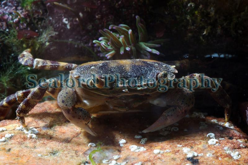 Asian shore crab Hemigrapsus sanguineus Troy Waterman 260410 ©RLLord 9245 smg