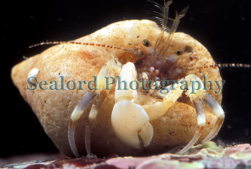 """The hermit crab, Anapagurus hyndmanni, is common under boulders next to the bedrock in Quaine gully (See  <a href=""""http://sealord.smugmug.com/gallery/1984411#145030299"""">http://sealord.smugmug.com/gallery/1984411#145030299</a> ) in Belle Greve Bay, east coast of Guernsey.  Collected and photographed on the 18 April 2007.<br /> <br /> File No. BG 180407 2-897<br /> ©RLLord<br /> fishinfo@guernsey.net"""
