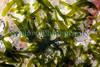 Symsagittifera roscoffensis north coast Herm 100910 ©RLLord 9973 smg