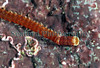 "This polychaete was discovered in Belle Greve Bay on Guernsey's east coast during a low spring tide on April 17, 2007.  In April 2007 I contacted polychaete specialists on the annelid email list - <a href=""http://www.annelida.net/"">http://www.annelida.net/</a> to identify this species for me.  <br /> <br /> Dr. Mary E. Petersen of the Darling Marine Center in Maine; Dr. Daniela Iraci Sareri in Italy; Dr. Daniel Martin, Director, Centre d'Estudis Avancats de Blanes (CSIC) in Spain; Guillermo Ruiz Cancino in Mexico; Dr. Salma Shalla based in the Isle of Man; and Joana Zanol in Washington, D.C. wrote to tell me it was the eunicid, Lysidice ninetta. <br /> <br /> Dr. Mary Petersen wrote ""Lysidice ninetta appears to be the only UK eunicid with three antennae, no dorsal cirri on the apodous segment and the color pattern shown. Both the reddish anterior segments with fine white spots and the pale (white?) ring on chaetiger 2 should be diagnostic.""<br /> <br /> Dr. Daniela Iraci Sareri wrote ""Of Lysidice collaris Grube, 1870; Lysidice margaritacea Claparede, 1868; and Lysidice ninetta Audouin & Milne Edwards, 1833,  L. collaris and L. margaritacea are warm-water species mainly recorded in Mediterranean Sea and Red Sea (lessepsian migrants) with the second less frequent than the other.  Moreover L. ninetta is easy distinguishable from L. collaris because characterized by a white bar on the fourth setiger.""<br /> <br /> PhD candidate Joana Zanol wrote ""The question about how many species of Lysidice are there in the English Channel is a tricky one. Around 30 species of Lysidice have been described for the whole world, but most have been synonymized so only the names collaris and ninetta are being used around the world.  Most specimens in the English Channel are probably identified as Lysidice ninetta . Lysidice ninetta is a pretty close identification for your specimen and English Channel specimens in general because the type specimens were from the Chausey Islands. Lysidice collaris type specimens were from the Red Sea.""<br /> <br /> Guillermo Ruiz Cancino wrote that ""Lysidice ninneta Audouin & Milne Edwards, 1833, is cosmopolitan, nevertheless recent studies have demonstrated that it can be a complex of species and not to be a single species.""<br /> <br /> Dr. Daniel Martin based in Spain wrote ""your worm seems clearly to be Lysidice ninneta. This was the most currently cited species in Mediterranean waters, where often two colour patterns were distinguished.  I was able to identify  two different species. The reddish one with a whitish collar effectively corresponded to L. ninetta, but the pale brownish one was L. collaris Grube, 1870. Both were equally frequent and shared simultaneously the same habitats (in my case, calcareous algae aggregates)."" <br /> <br /> File No. 170407 25-895<br /> ©RLLord<br /> fishinfo@guernsey.net"
