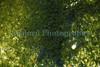 Symsagittifera roscoffensis on Shell beach 150709