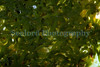 Symsagittifera roscoffensis north coast of Herm 100910 ©RLLord 9991 smg