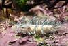 Favorinus branchialis nudibranch Lihou 100509 ©RLLord 4079 smg