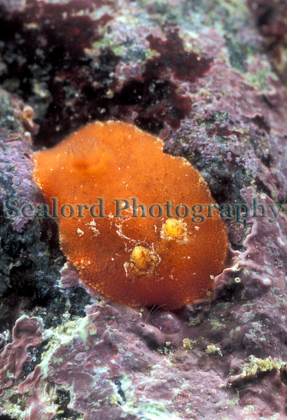On the 19 April 2007 I found two Rostanga rubra nudibranchs under boulders at extreme low water in the centre of Belle Greve Bay on Guernsey's east coast. Rostanga rubra feeds on certain red coloured sponges.<br /> File No. 190407 16-899<br /> ©RLLord<br /> fishinfo@guernsey.net