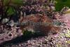 Goniodoris castanea south Lihou causeway 100509 ©RLLord 4069 smg
