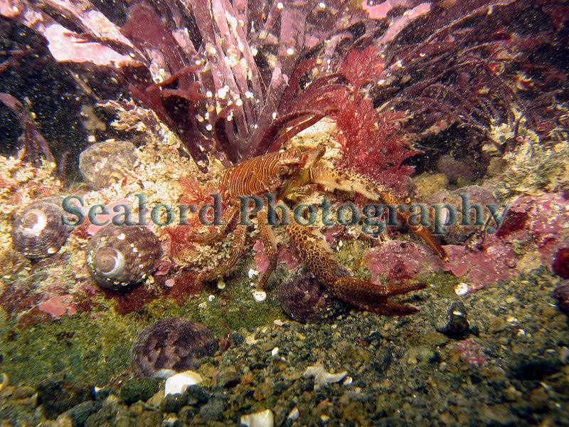 Shore squat lobster, Galathea squamifera, in Belle Greve Bay on Guernsey's east coast on 5th January 2007