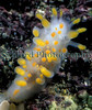 The nudibranch Limacia clavigera in Belle Greve Bay on Guernsey's east coast