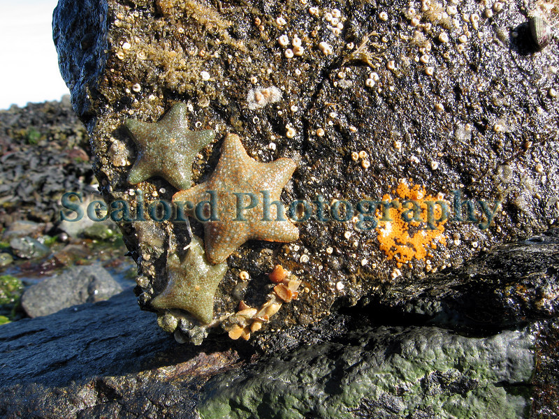 The cushion starfish or sea star, Asterina gibbosa, crawls away from a deposit of bright orange eggs left on the base of a boulder on 22 May 2007 in Belle Greve Bay on Guernsey's east coast.<br /> File No. BG 220507 8865<br /> ©RLLord<br /> fishinfo@guernsey.net