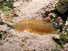 The gelatinous scaleworm Alentia gelatinosa from Belle Greve Bay on Guernsey's east coast