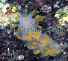 The nudibranch Limacia clavigera seen on several occasions in a specific location in Belle Greve Bay