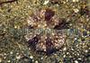 Daisy anemone, Cereus pendunculatus, in the sediment in Belle Greve Bay