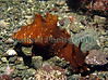 The sea hare, Aplysia depilans, in a Belle Greve Bay rock pool