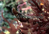 Worm pipefish, Nerophis lumbriciformis, found in Belle Greve Bay