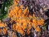 Hymeniacidon perleve BG 090208 2988 smg