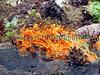 The orange sponge, Hymeniacidon perleve, growing in the inter-tidal area of Belle Greve Bay on Guernsey's east coast