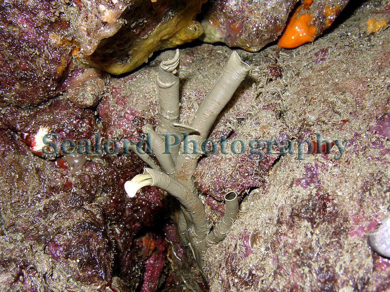 Fan worms, Bispira volutacornis, in Belle Greve Bay