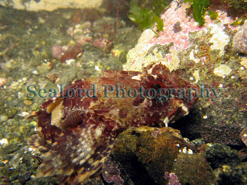 This long-spined sea scorpion, Taurulus bubalis, was photographed on 4 February 2007 while I was investigating a small pool in Belle Greve Bay on Guernsey's east coast where I found hiding under a cobble thirty-nine juvenile hermit crabs, Pagurus bernhardus. This fish, a member of the sculpin family, has a skin parasite, Anilocra frontalis, attached above the pectoral fin on its right side.  These parasitic isopods (crustacea) are common on long-spined sea scorpions arriving on the shore in Belle Greve Bay at this time of year.<br /> File No. 040207 6012<br /> ©RLLord<br /> fishinfo@guernsey.net