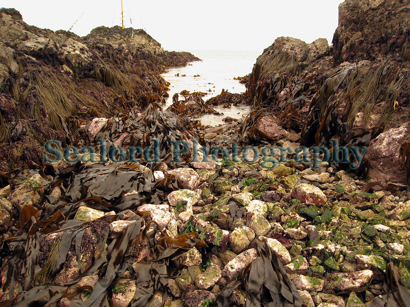 """This gully is by the Quaine pole (the top of the pole has a large letter 'Q') in Belle Greve Bay on Guernsey's east coast so I call it Quaine gully.  It can only be reached by foot during an extreme low spring tide.  This gully is home to clingfishes ( See  <a href=""""http://sealord.smugmug.com/gallery/1984411#145028125"""">http://sealord.smugmug.com/gallery/1984411#145028125</a> ), rocklings, squat lobsters (Galathea nexa), hermit crabs, ormers or abalone and many other occasional species such as the snapping prawn, Alpheus macrocheles (See   <a href=""""http://sealord.smugmug.com/gallery/1984411#139498411"""">http://sealord.smugmug.com/gallery/1984411#139498411</a> ).  The walls of the gully are covered in crustose coralline algae and draped with thongweed, Himanthalia elongata and Laminaria kelps.  The walls are also covered in a variety of sponges.  Some of the crevices and holes in the gully walls contain Devonshire cup corals and sponges that avoid light.  <br /> File No. BG 170407 7955<br /> ©RLLord<br /> fishinfo@guernsey.net"""