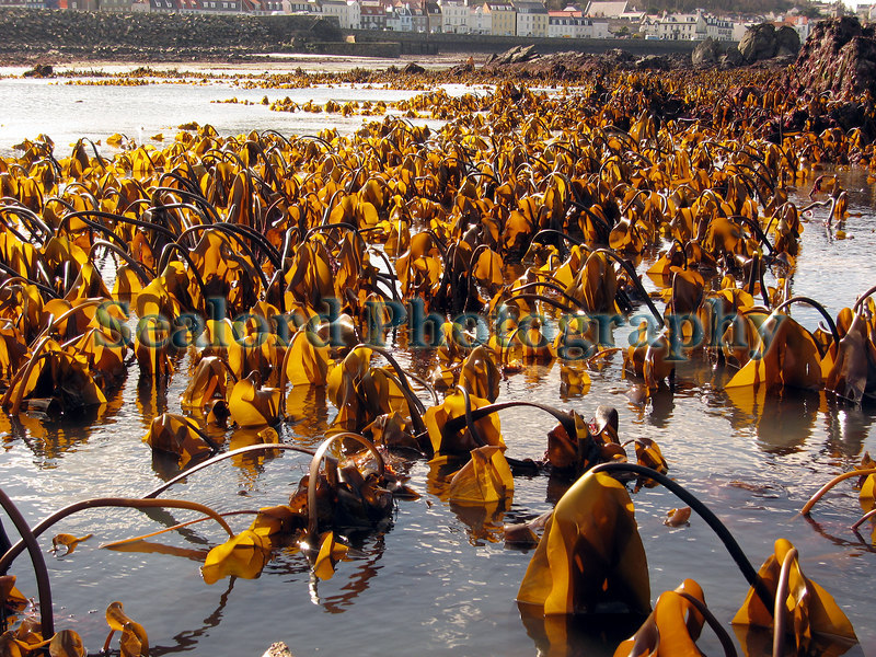 This image taken on the southern side of Belle Greve Bay on Guernsey's east coast shows a field of the brown kelp, Laminaria ochroleuca, exposed by an extreme low water spring tide on the 21st March 2007.  The Laminaria ochroleuca kelps have cylindrical stipes (or stems).  In the middle of the image in the foreground there are some kelps with broad, belt-like stipes.  These belong to the furbelows, Laminaria hyperborea.  In the background is Salerie Corner and the Salerie quay.<br /> File No. BG 210307 7547<br /> ©RLLord<br /> fishinfo@guernsey.net