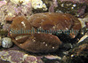 "This large furrowed crab, Xantho incisus, was photographed in 'crater rock pool"" (See  <a href=""http://sealord.smugmug.com/gallery/1984411#127980518"">http://sealord.smugmug.com/gallery/1984411#127980518</a> ) in Belle Greve Bay on 4 February 2007.  The width of the animal including the heavy claws was about 10 cm.  I photographed it on 4 February 2007.<br /> File No. 040207 6060 <br /> ©RLLord<br /> fishinfo@guernsey.net"