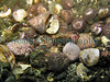 In Belle Greve Bay on Guernsey's east coast I turned over a cobble (adjacent photograph) in a small pool left by the falling tide and found thirty-nine juvenile hermit crabs, Pagurus bernhardus, occupying mostly Gibbula umbilicalis (flat top shell)  shells.  One of the hermit crabs occupied a larger painted top shell, Calliostoma zizyphinum, shell. These hermit crabs are Europe's largest and most common hermit crab species.  As they grow they move to deeper water and will eventually occupy empty common whelk, Buccinum undatum, shells.   Photographed on 4 February 2007<br /> File No. 040207 6008<br /> ©RLLord<br /> fishinfo@guernsey.net