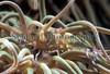 Anemone prawn, Periclimenes sagittifer, from Belle Greve Bay