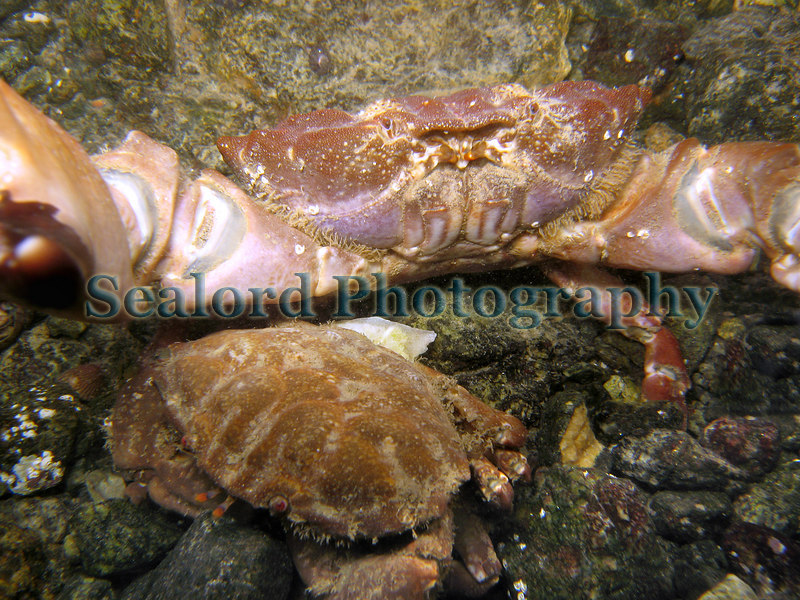 These two Xantho incisus crabs are the sole xanthid crabs inhabiting a small tide pool in Belle Greve Bay on Guernsey's east coast.  The larger male has heavy claws and a carapace width of 56.2 mm. The smaller female has a carapace width of 42.6 mm.  Photographed on the 5 March 2007 with a Canon S80 compact digital camera with an underwater housing.<br /> File No. 050307 6861<br /> ©RLLord<br /> fishinfo@guernsey.net