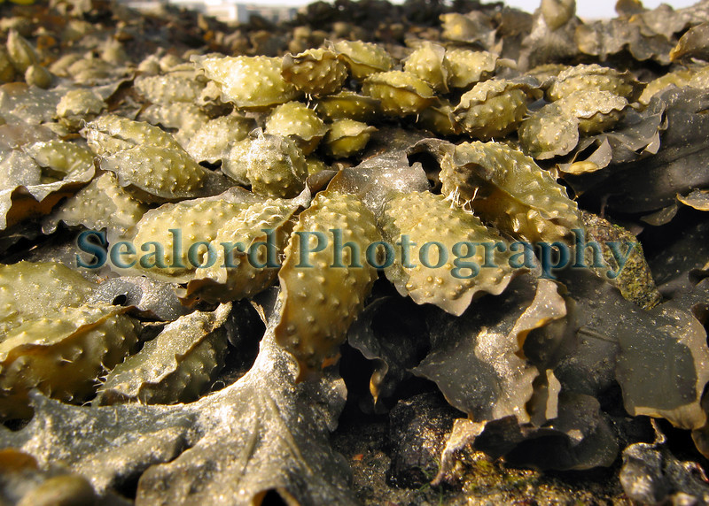 Fucus spiralis growing on the upper shore of Belle Greve Bay, Guernsey