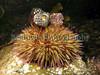 Green sea urchin, Psammechinus miliaris, in a Belle Greve Bay tide pool on the 5th November 2006