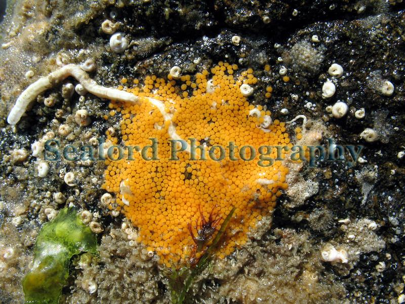 Asterina gibbosa eggs BG 020607 29 smg