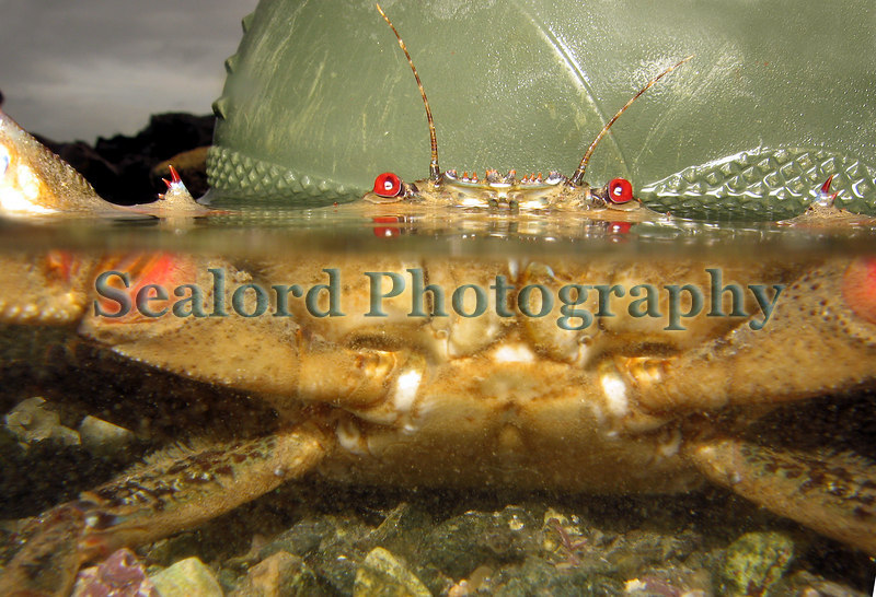 Velvet swimming crab or Lady crab, Necora puber, in Belle Greve Bay on Guernsey's east coast on 4th January 2007