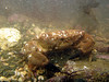 Montagu's crab, Xantho hydrophilus, in Belle Greve Bay on Guernsey's east coast on 29 March 2006