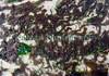 Zostera marina epiphytes BG 170507 8799 smg