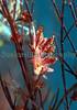 The sea slug, Hermaea bifida, from a rock pool in Belle Greve Bay