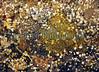 Lepadogaster L eggs Quaine gully BG 210307 7572 smg
